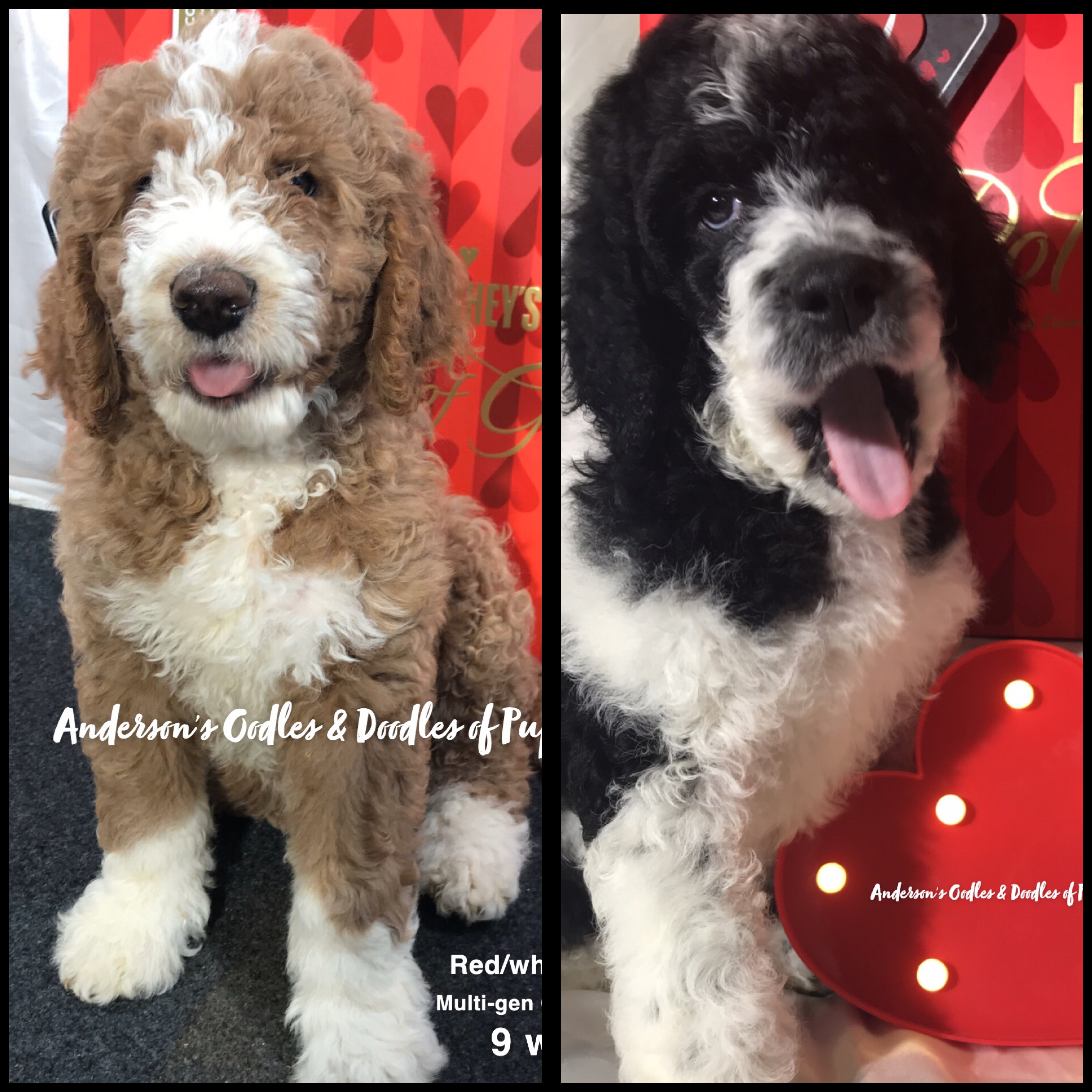 Anderson S Oodles Doodles Of Puppy Love
